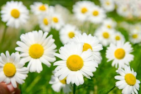 정오의 해 아래 넓은 필드에 많은 camomile 꽃 스톡 콘텐츠