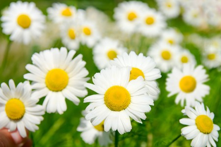 Many camomile flowers on wide field under midday sun Banco de Imagens - 7519522