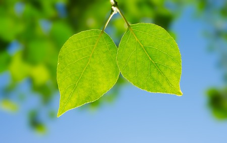 Two leafes of aspen  in sunny day. Summer. Stock Photo - 7645464
