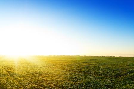Yellow sunset in green field. Belarus. No cloud. Stock Photo - 8367820
