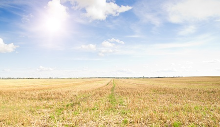 Yellow field of wheat cuted under midday sun in blue sky. Forest in the distance. Stock Photo - 8367821