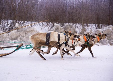 North holiday in Murmansk  Team of rein-deers skims over the snow path   photo