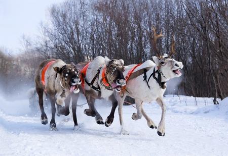 running reindeer: North holiday in Murmansk  Team of rein-deers skims over the snow