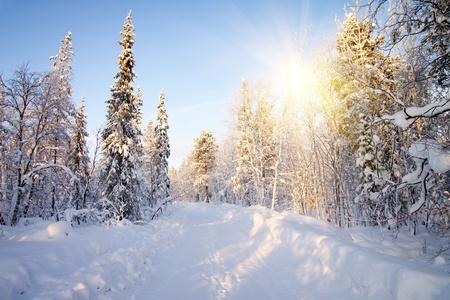sapin: D'hiver en for�t profonde glacial ensoleill� de janvier Banque d'images