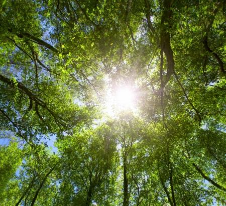 Green forest  Sun light through treetops  Summer  Stock Photo