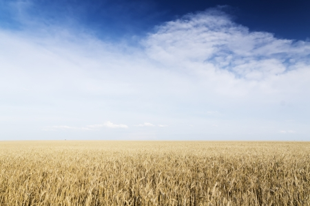 Wheat field under cloudscape  Golden meadow  Ukraine  photo