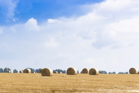 Several haystacks on the wide field  Belarus  photo