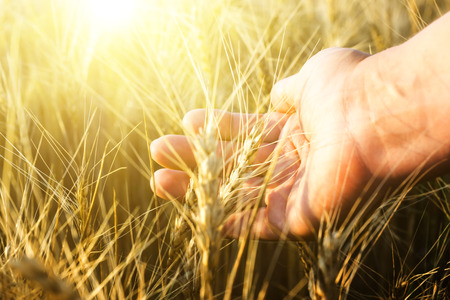 agriculture wallpaper: Female hand wins the ears of wheat. Agriculture. The sunset.