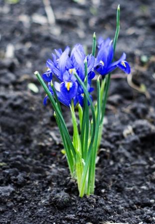 Iris pumila photo