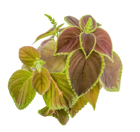 Coleus isolated over white background Stok Fotoğraf