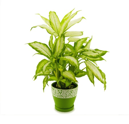 dieffenbachia grows in flowerpot isolated on white Banco de Imagens