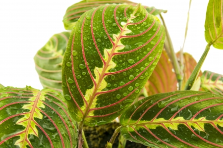 Maranta houseplant on a white background Stock Photo