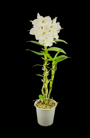 Beautiful white innocent orchid (Phalaenopsis) on a black background photo