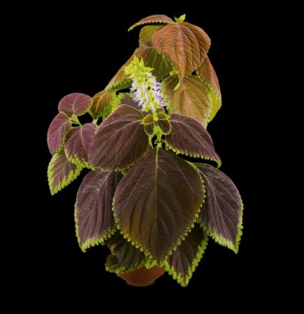 Coleus flowers isolated on black background photo