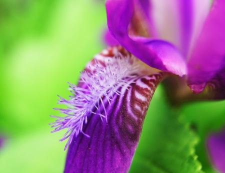 Iridaceae photo
