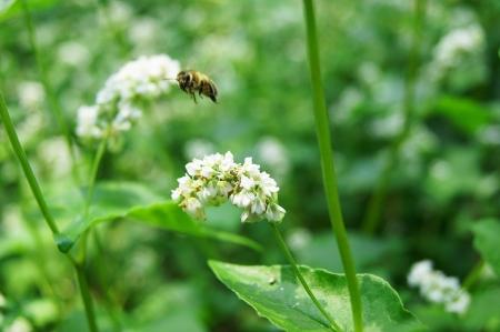 Buckwheat flower closeup photo