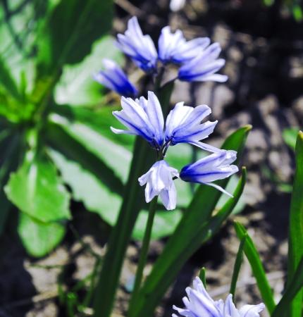 Blue Hyacinth macro on white background photo