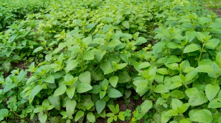 Fresh green Melissa (Lemon balm)  photo