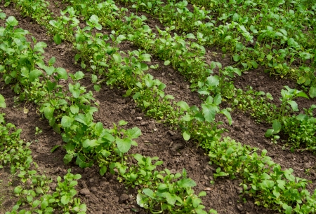field with blossoming plant Brassica napus, for manufacture of oil and diesel fuel photo