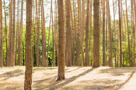 Autumn pinewood photo
