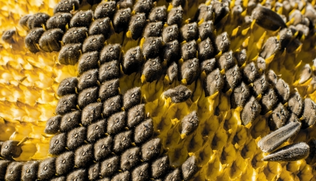 Sunflower with Black Seeds Close-Up photo