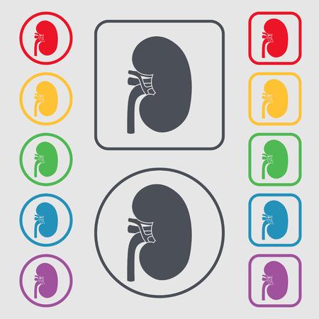 nephrology: Kidney Illustration