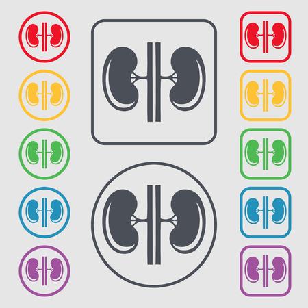 kidneys: Kidneys Illustration