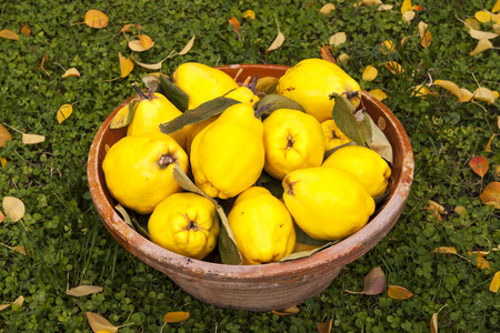 Large yellow quinces in a clay bowl on the green lawn with leaves.