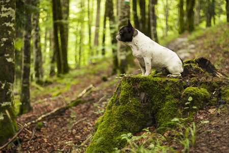 French bulldog sitting on a cut tree trunk in a green forest.