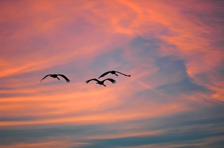 Group of cranes flying back light at sunset with orange and blue colors