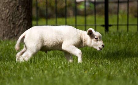lamb on green grass photo