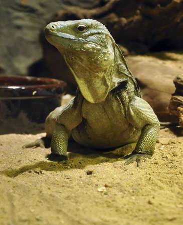 komodo island: lizard Stock Photo