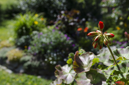 pelargonium:  pelargonium buds burst Stock Photo