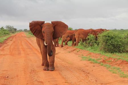 elephant angry: Red elephants - Safari - Kenya