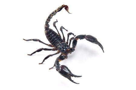 erectile: Scorpion Stock Photo