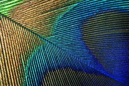nobleness: Peacock Feather