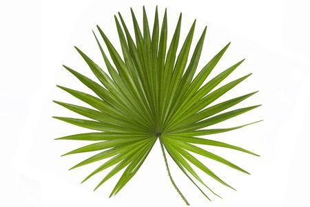 tropical leaves: Palm Leaf