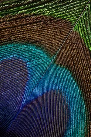 plumas de pavo real: Pluma del pavo real