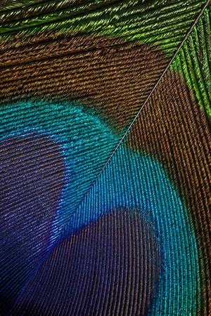 pluma de pavo real: Pluma del pavo real