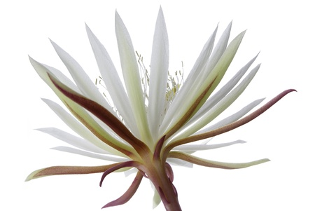 cereus: Flower