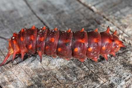 Pipevine Swallowtail Caterpillar Stock Photo