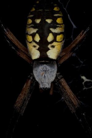 Garden Spider Reklamní fotografie