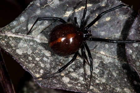 arachnid: Black Widow Spider