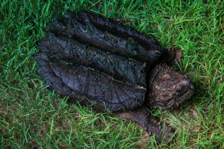 freshwater turtle: Alligator Snapping Turtle