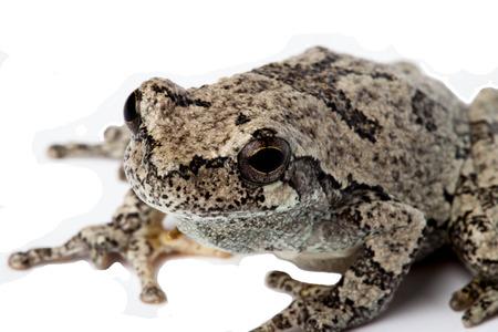 Gray Treefrog isolated on white