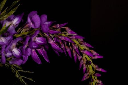 Purple Flower isolated on black background