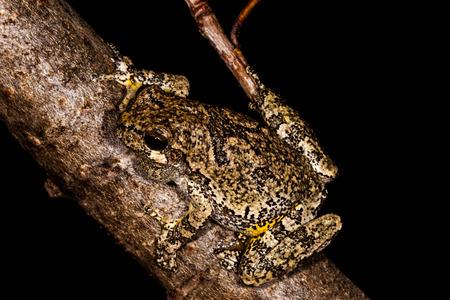 Gray Treefrog on tree branch  版權商用圖片