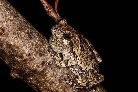 나뭇 가지에 회색 Treefrog 스톡 콘텐츠 - 29652898