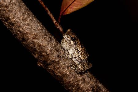 나뭇 가지에 회색 Treefrog 스톡 콘텐츠 - 29652904