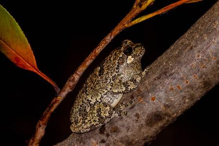 Gray Treefrog on tree branch  Фото со стока